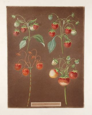Strawberries] Early Scarlet Strawberry; Late Scarlet; Golden Drop; Pine. After George BROOKSHAW