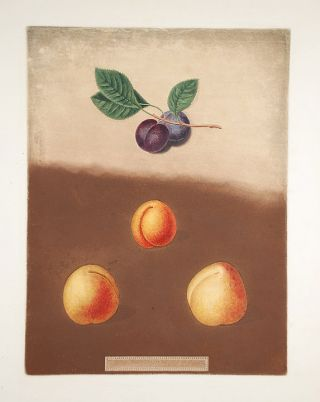Apricot] Black Apricot; Breda Apricot; Brussels Moor Park Apricot. After George BROOKSHAW