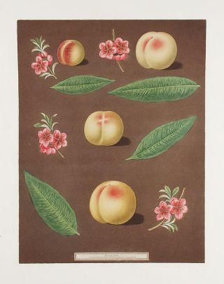 Peach] Red Nutmeg, Hemskirk Peach. After George BROOKSHAW