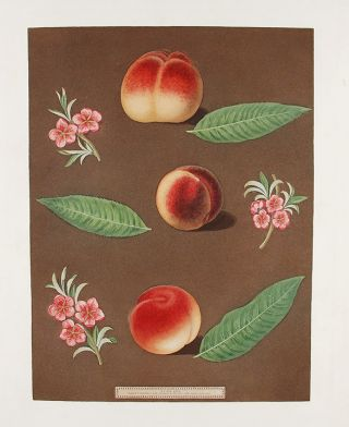 Peach] Grimwood's Royal George Peach; Grimwood's Royal Charlotte Peach; French Magnonne. After...