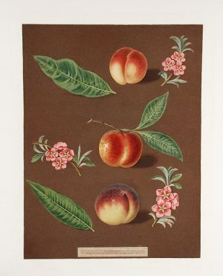 Peach] Early Newington Peach; Buckinghamshire Mignonne; Mignonne Barrington Peach. After George...