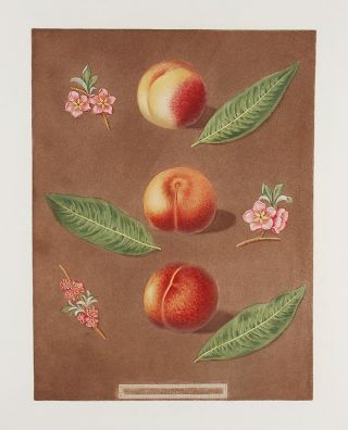 Peach] Montauban Peach; Gross Minion; Royal George Old Peach. After George BROOKSHAW