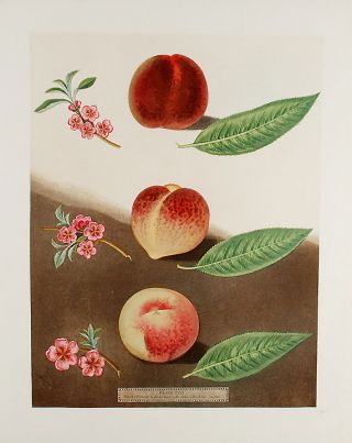 Peach] Gallande; Noblesse Peach. After George BROOKSHAW
