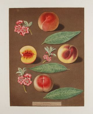 Peach] Marlborough Peach; Rombullion Peach; Double Mountain Peach. After George BROOKSHAW