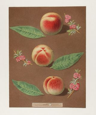 Peach] Bourdine Peach; Nevet Peach; Late Admirable Peach. After George BROOKSHAW