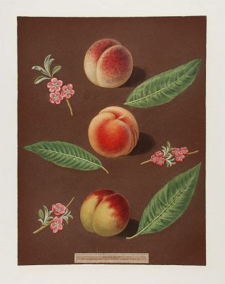 Peach] Chancellor Peach; Catherine Peach; Old Newington Peach. After George BROOKSHAW