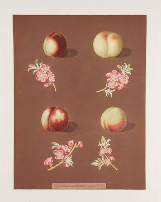 Nectarine] Homerton's White Nectarine; Ford's Black Nectarine; Italian Nectarine. After George...