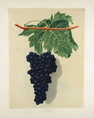 Grapes] Black Frontiniac Grape. After George BROOKSHAW