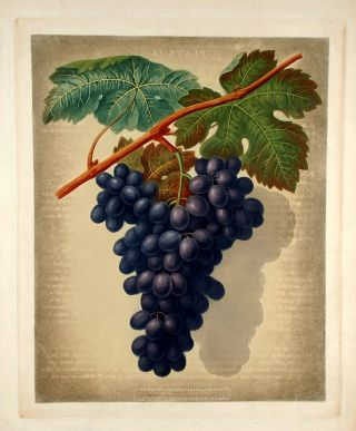 Grapes] Black Marocco (Morocco Grape). After George BROOKSHAW