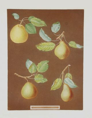 Pears] Bergamot de Chantilly; Bonchee (Bon Chretien); White Sweet Sugar Pear; Bishop Thumb. After...