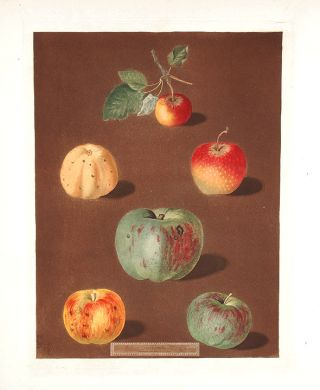 Apples] Pomme d'Api; Carpendu de Blanch; Carpendu de Rouge; Nonsuch Apple Royal; Nonsuch Summer;...
