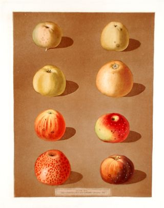 Apples] Robertson's Pippin; Blanchard's Peppin; Lemon Pippin Apple; Aromatic Pippin; Embroidered...