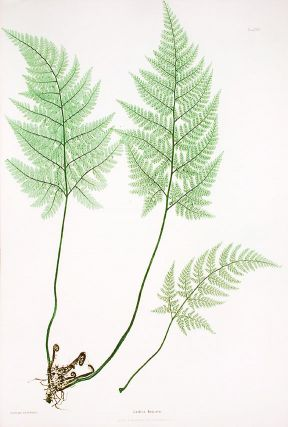 Lastrea foenisecii [Hay-scented, or Concave Prickly-toothed Buckler Fern]. Thomas MOORE