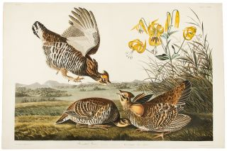 Pinnated Grouse [Greater Prairie-Chicken]. John James AUDUBON