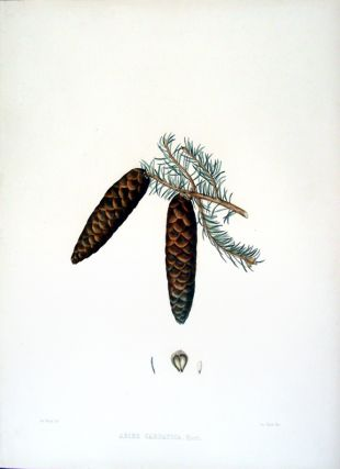 Abies carpatica. Edward James RAVENSCROFT, - James BLACK