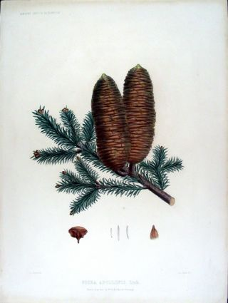 Picea apollinis. Link. (Greek Fir). Edward James RAVENSCROFT, - James BLACK