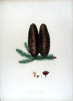 Picea pinsapo. (Spanish Fir). Edward James RAVENSCROFT, - James BLACK