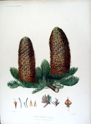 Picea nobilis. Loudon. (Red Fir). Edward James RAVENSCROFT, - James BLACK