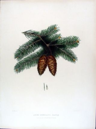 Abies douglasii (Douglas Fir). Edward James RAVENSCROFT, - James BLACK