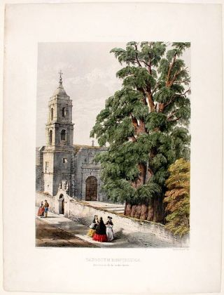Taxodium montezumae (now mucronatum) Montezuma Cypress. Edward James RAVENSCROFT, - William...