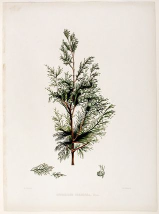 Cupressus tortulosa (Kashmir Cyrpess). Edward James RAVENSCROFT, - James BLACK