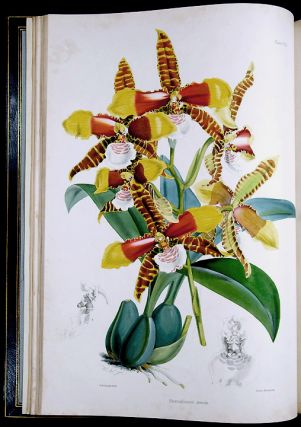 A Monograph of the Odontoglossum. James BATEMAN