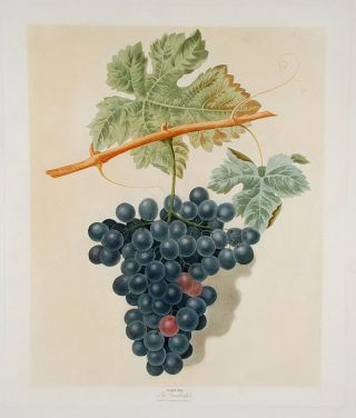 Grapes] The Frankindale. After George BROOKSHAW