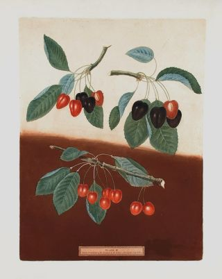 Cherries] Bleeding Heart; Ox-Heart; Maple-Heart. After George BROOKSHAW