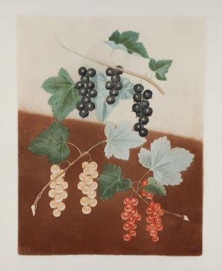 Currants] Black Currant; White Currant; Dutch Red Currant. After George BROOKSHAW