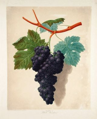 Grapes] Black Muscadine. After George BROOKSHAW