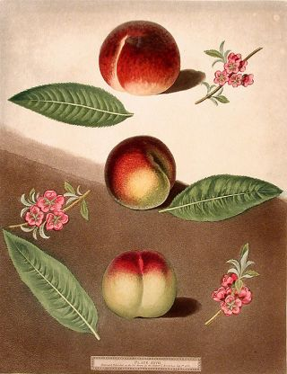 Peach] Early Purple Peach; Peach of Mr. Padley's; Galand Peach (Violet Hative Peach). After...