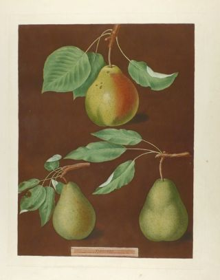 Pears] Cadillac; Paddington Pear; St. Martial Pear. After George BROOKSHAW