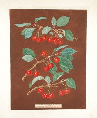 Cherries] Kentish or Flemish Cherry. English Bearer. Carnation Cherry. After George BROOKSHAW