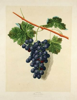 Grapes] Grape of Calmes. After George BROOKSHAW