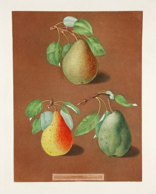 Pears] Brown Pear; Golden Pear; Colmar Pear. After George BROOKSHAW