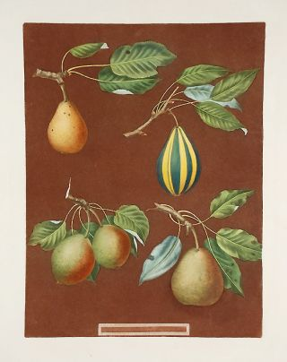 Pears] Striped Vert Longue. After George BROOKSHAW
