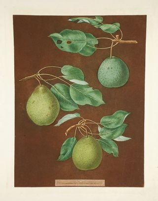 Pears] Easter Bergamot Pear, Tarlington Pear. After George BROOKSHAW