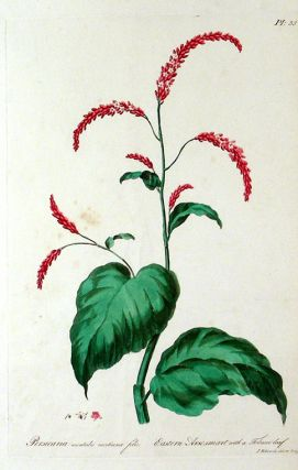 Persicaria Nientales Nicotianae Folio [Eastern Arsesmart with a Tobacco Leaf]. John EDWARDS