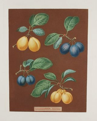 Plums] Carnation Plum, Wine Sour Plum, Dauphine Plum. After George BROOKSHAW