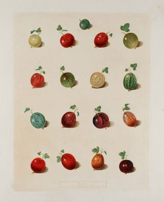 Gooseberries] Early Green Hairy, Child's Golden Lion, Alcock's Duke of York, Lomaxe's Victory,...