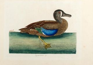 Querquedula &c [ Blue-winged Teal]. Mark CATESBY