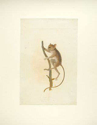 """Le tarsier podje / ... vol.13 / des Iles moluques"" [original watercolour sketch for 'Le Tarsier..."