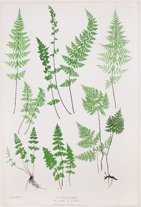 Cystopteris fragilis [Bladder Fern]; C.regia [Royal Bladder Fern]; C.montana [Mountain Bladder...
