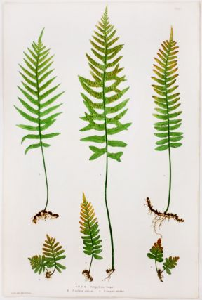 Polypodium vulgare [Brake Root]; P.vulgare acutum [Pointed Brake Root]; P.vulgare bifidum...