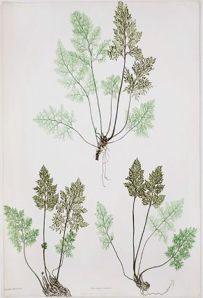Allosorus crispus [Parsley Fern]. Thomas MOORE