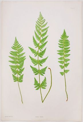 Lastrea cristata [Crested Wood Fern]. Thomas MOORE