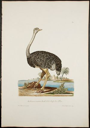 Ostrich]. Georg Wolfgang KNORR