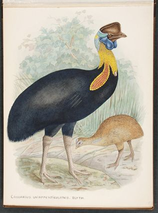 "An album of original watercolour drawings of Cassowaries, with related manuscript title ""Kasuare / Walter Rothschild"""