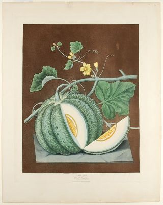 Melon] White Candia (White Flesh Melon). After George BROOKSHAW