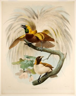 Paradisea Minor [Lesser Bird of Paradise]. Joseph WOLF